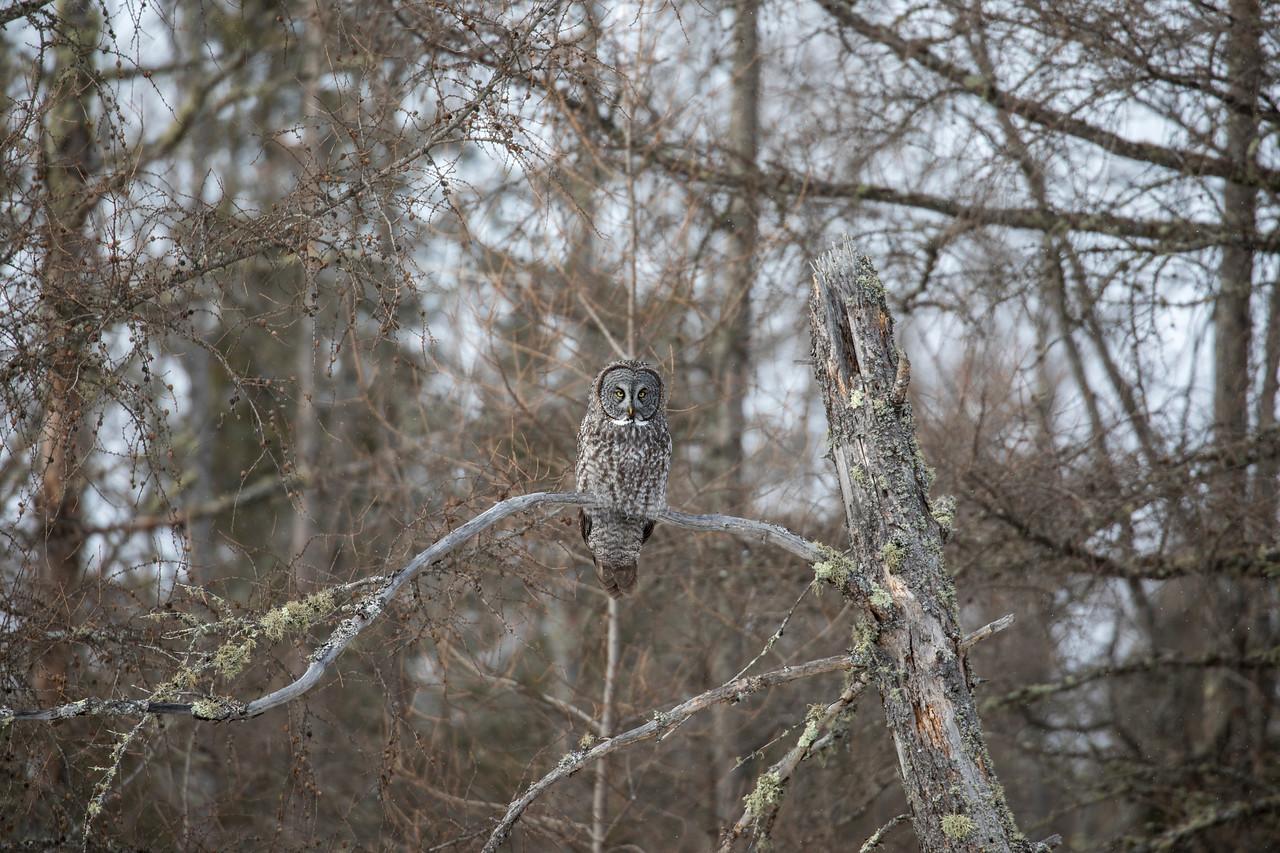 Great Gray Owl 38 (1-29-2018)