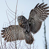Great Gray Owl 47 (1-29-2018)