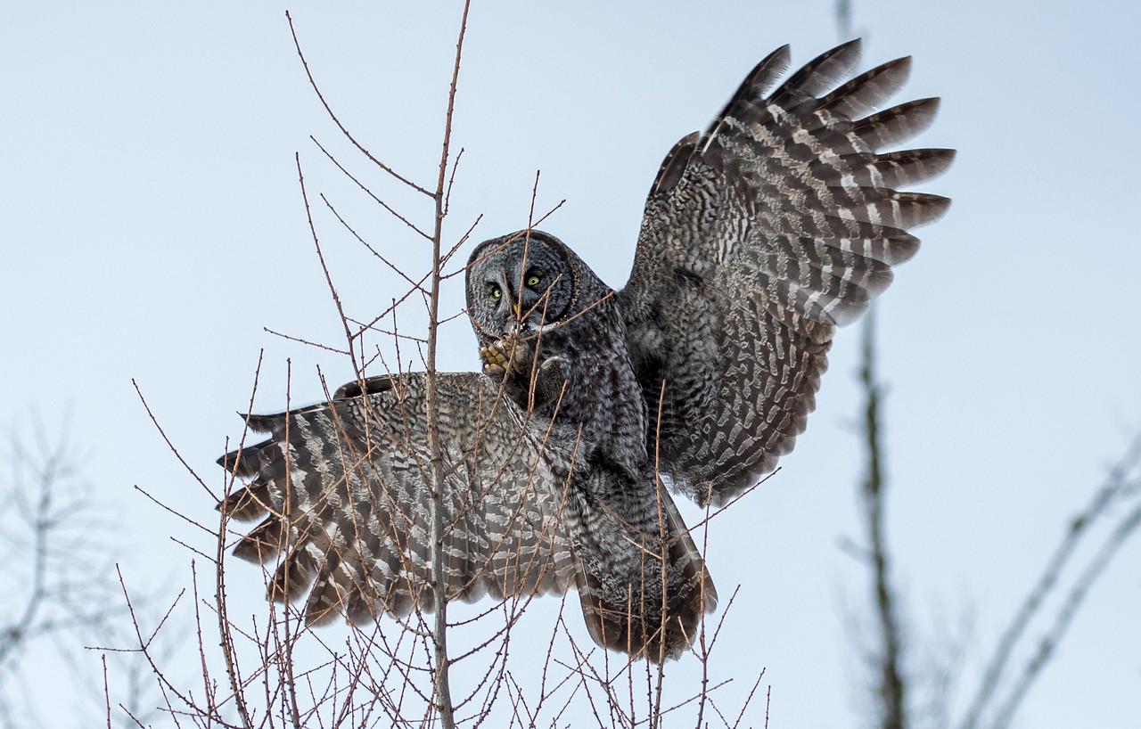 Great Gray Owl 47 (1-29-2018)