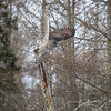 Great Gray Owl 27 (1-29-2018)