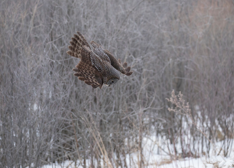 Great Gray Owl 8 (1-29-2018)
