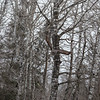 Great Gray Owl 15 (1-29-2018)