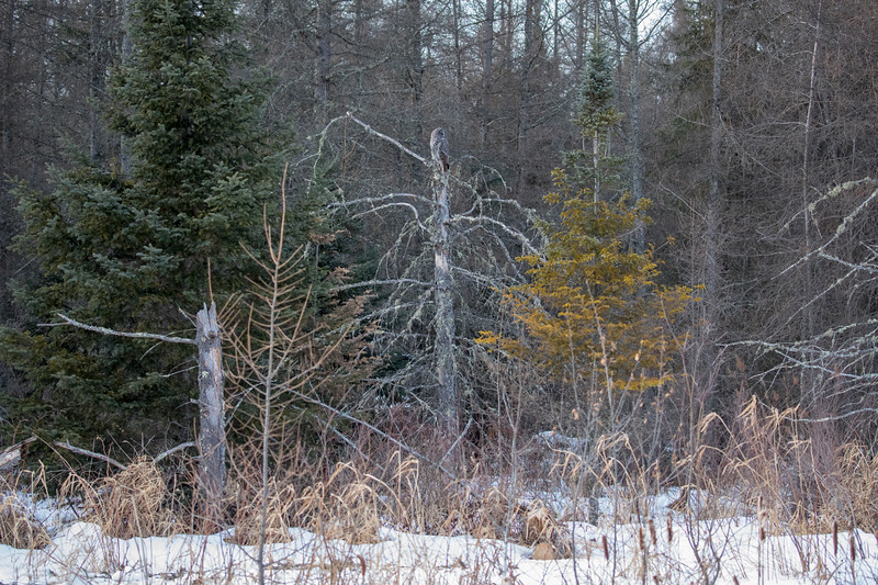 Great Gray Owl 70 (1-29-2018)