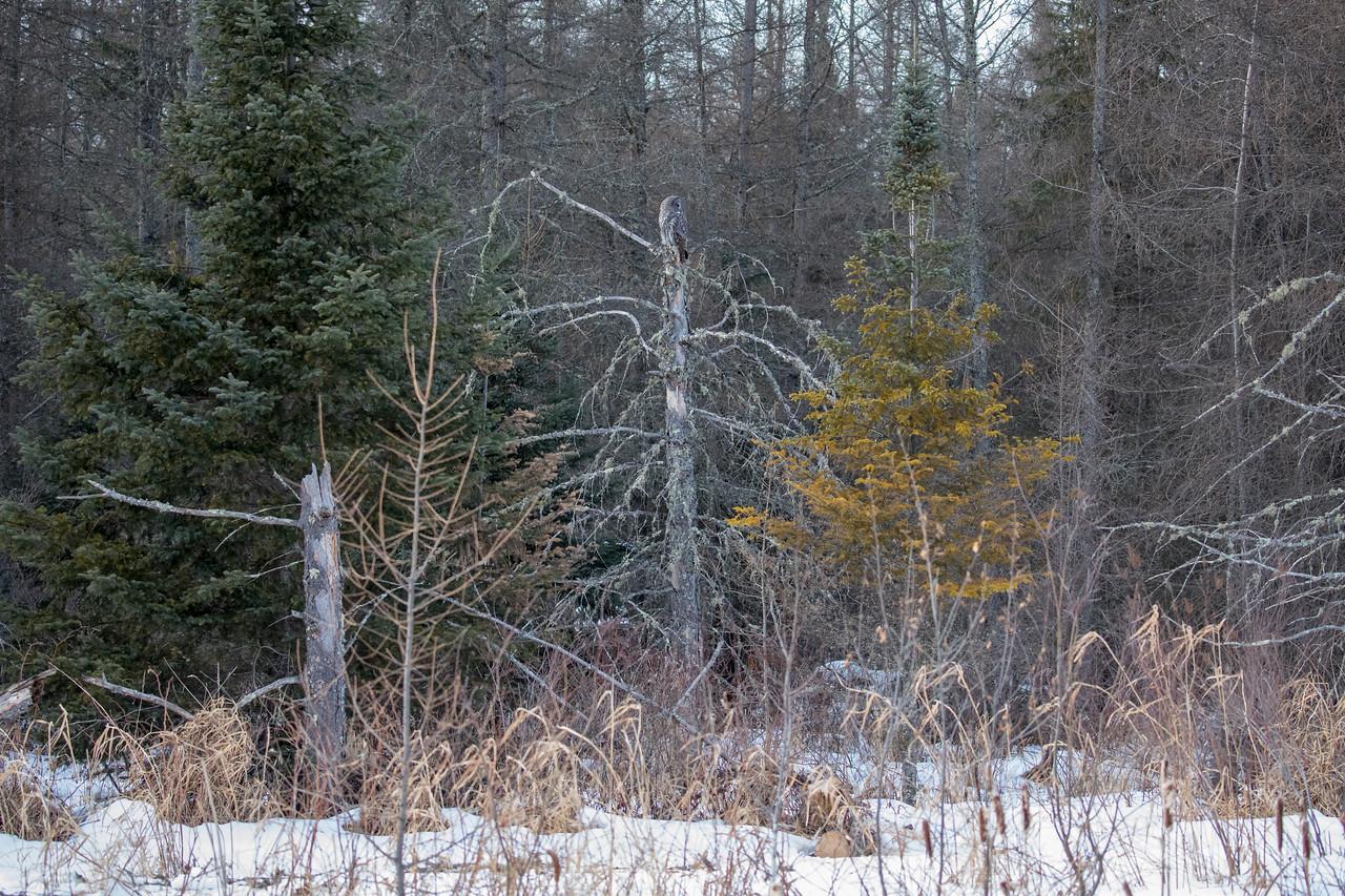 Great Gray Owl 70 (1-29-2018)
