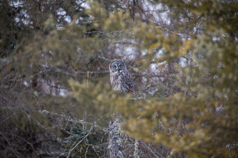 Great Gray Owl 55 (1-29-2018)
