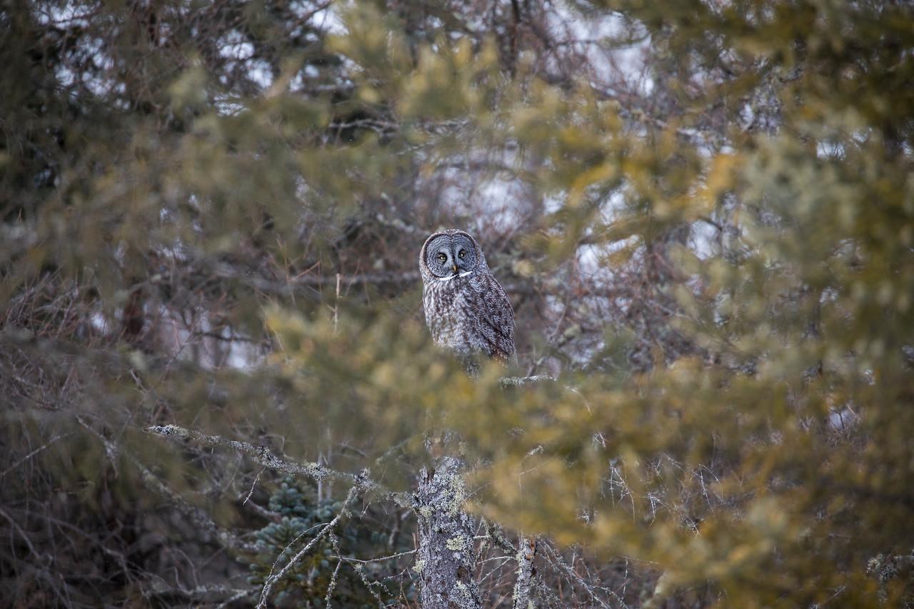 Great Gray Owl 55 (1-29-2018)