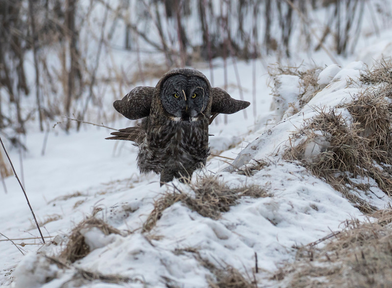 Great Gray Owl 12b (1-29-2018)
