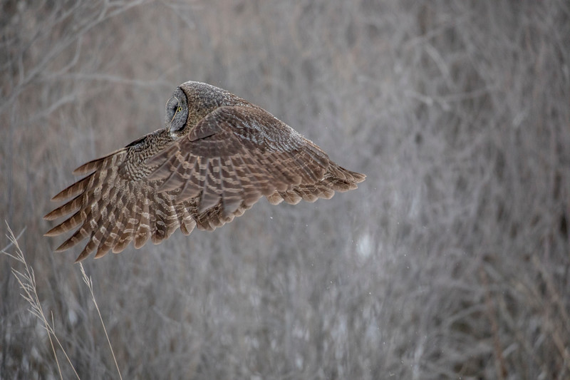 Great Gray Owl 14 (1-29-2018)