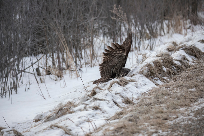 Great Gray Owl 10 (1-29-2018)