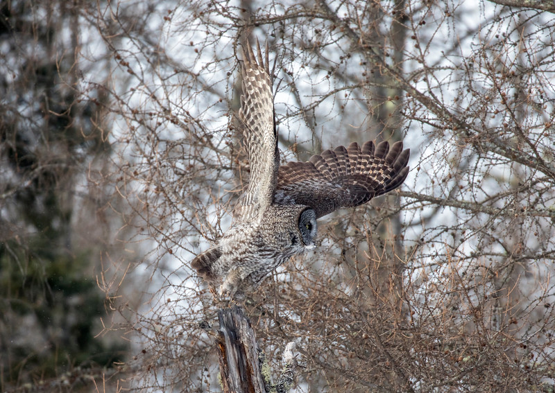 Great Gray Owl 27b (1-29-2018)