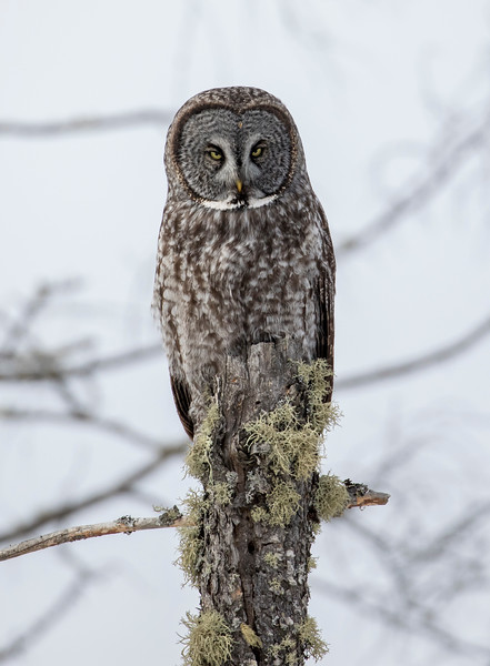 Great Gray Owl 52 (1-29-2018)