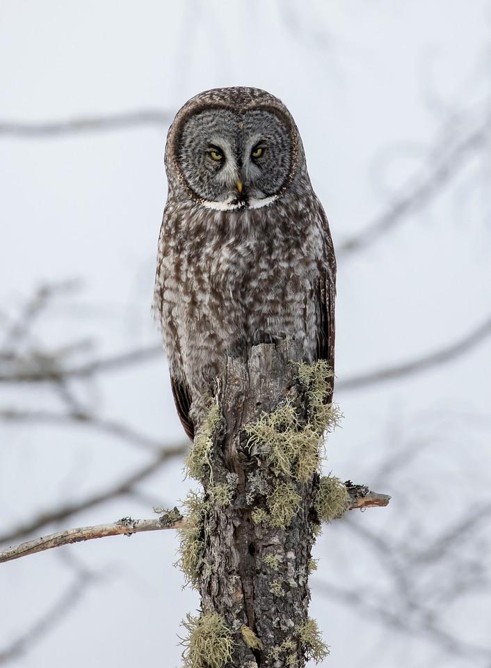 Great Gray Owl 52 (1-29-2018)