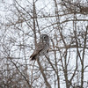 Great Gray Owl 21 (1-29-2018)