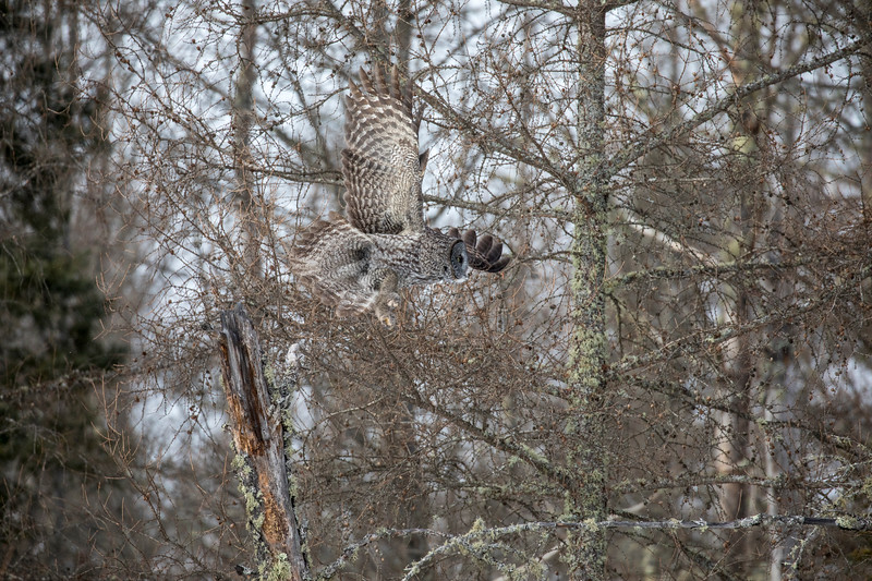 Great Gray Owl 29 (1-29-2018)