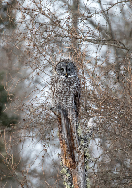 Great Gray Owl 23 (1-29-2018)