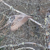 Great Gray Owl 72 (1-29-2018)