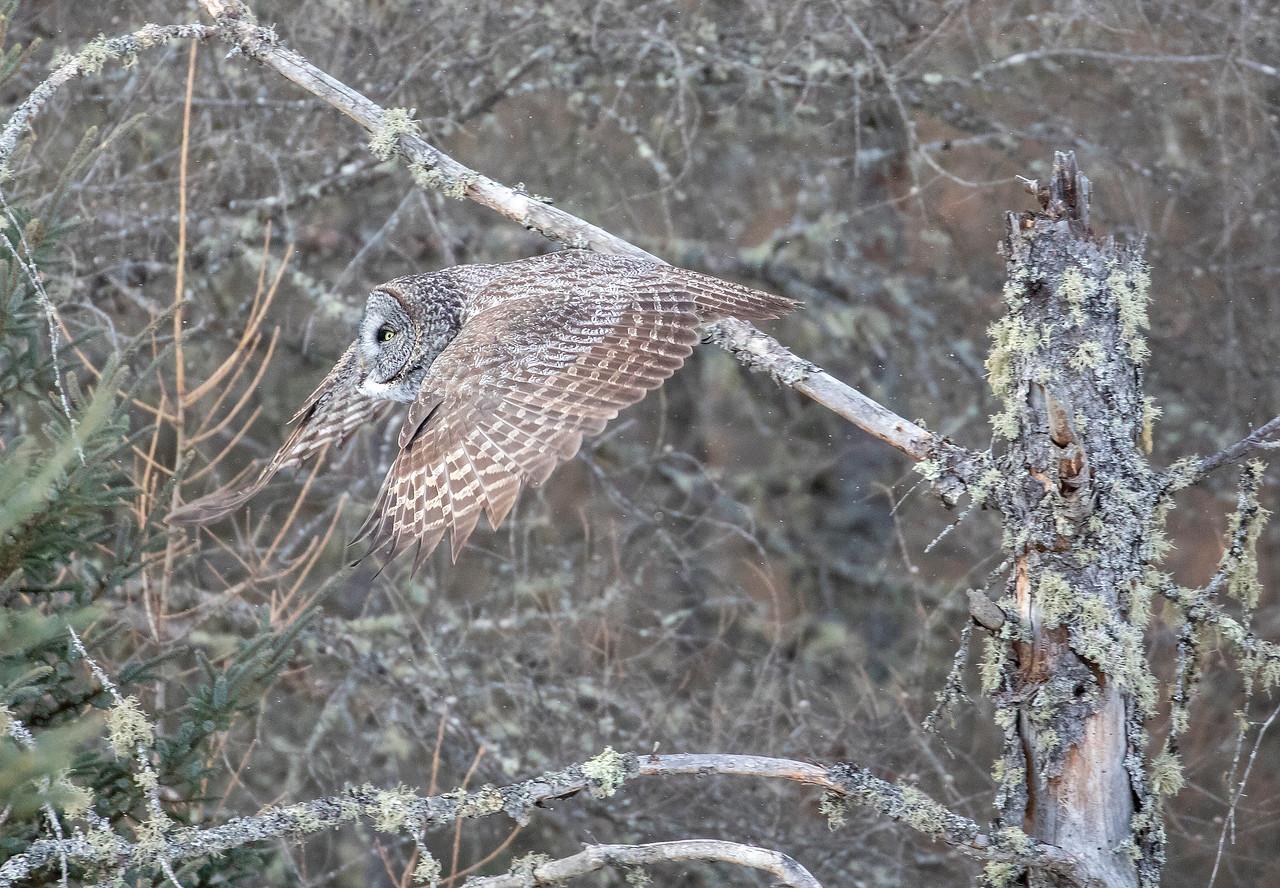 Great Gray Owl 72 (1-29-2018)