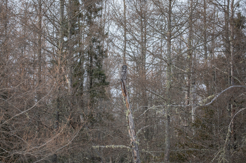 Great Gray Owl 25 (1-29-2018)