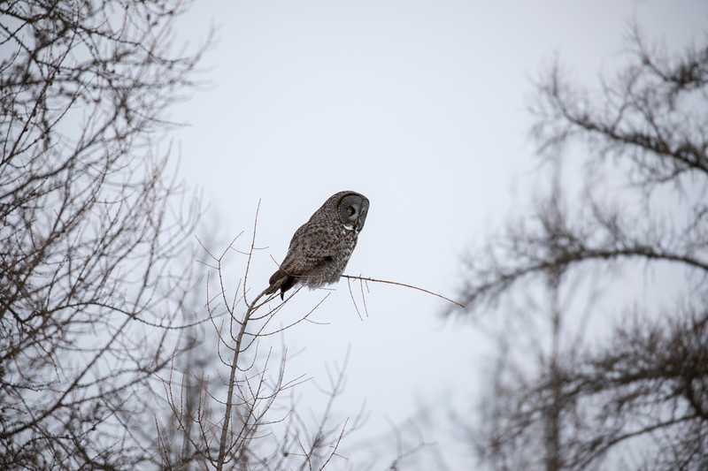 Great Gray Owl 20 (1-29-2018)
