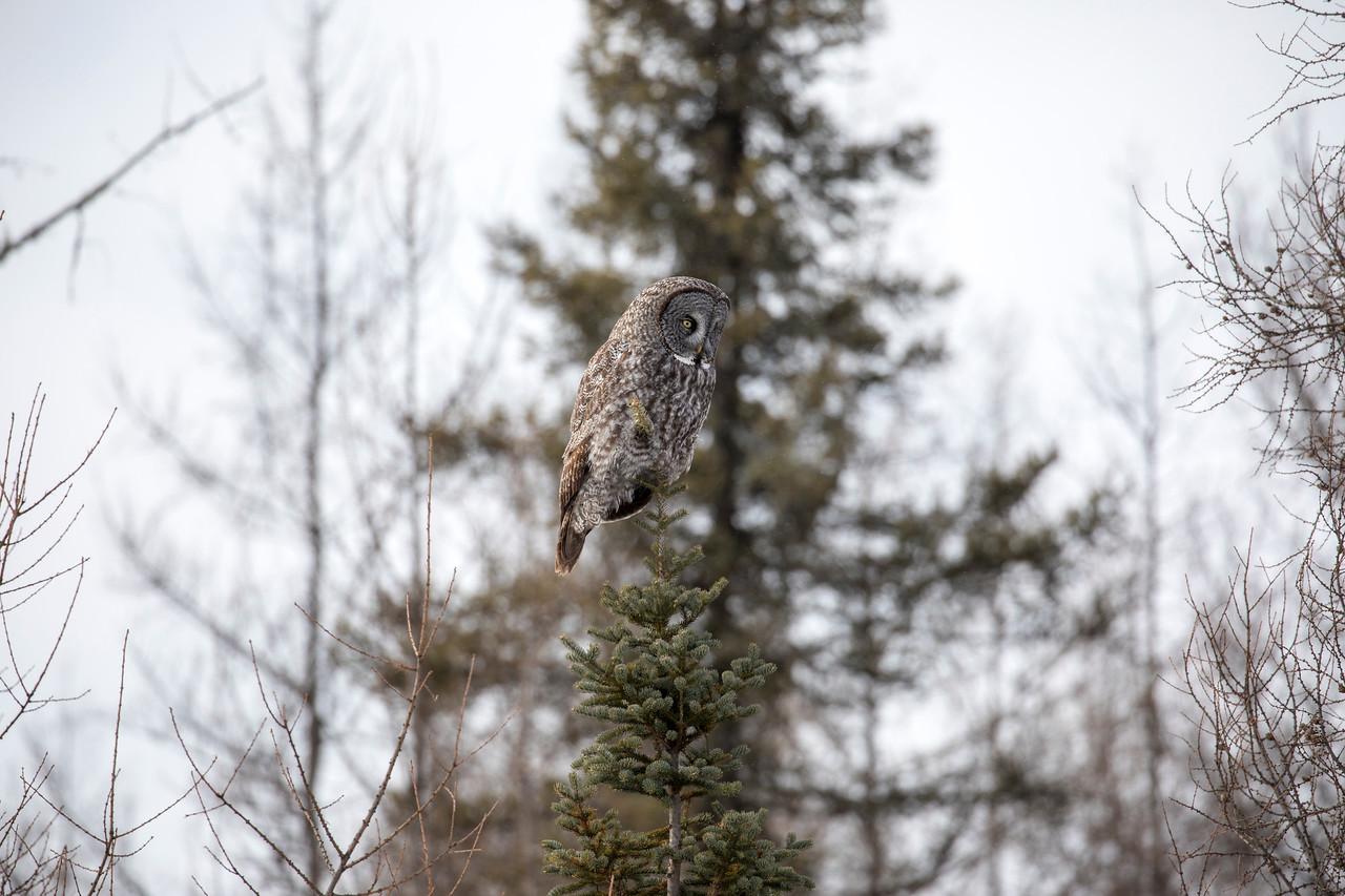 Great Gray Owl 73 (1-29-2018)