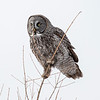 Great Gray Owl 50 (1-29-2018)