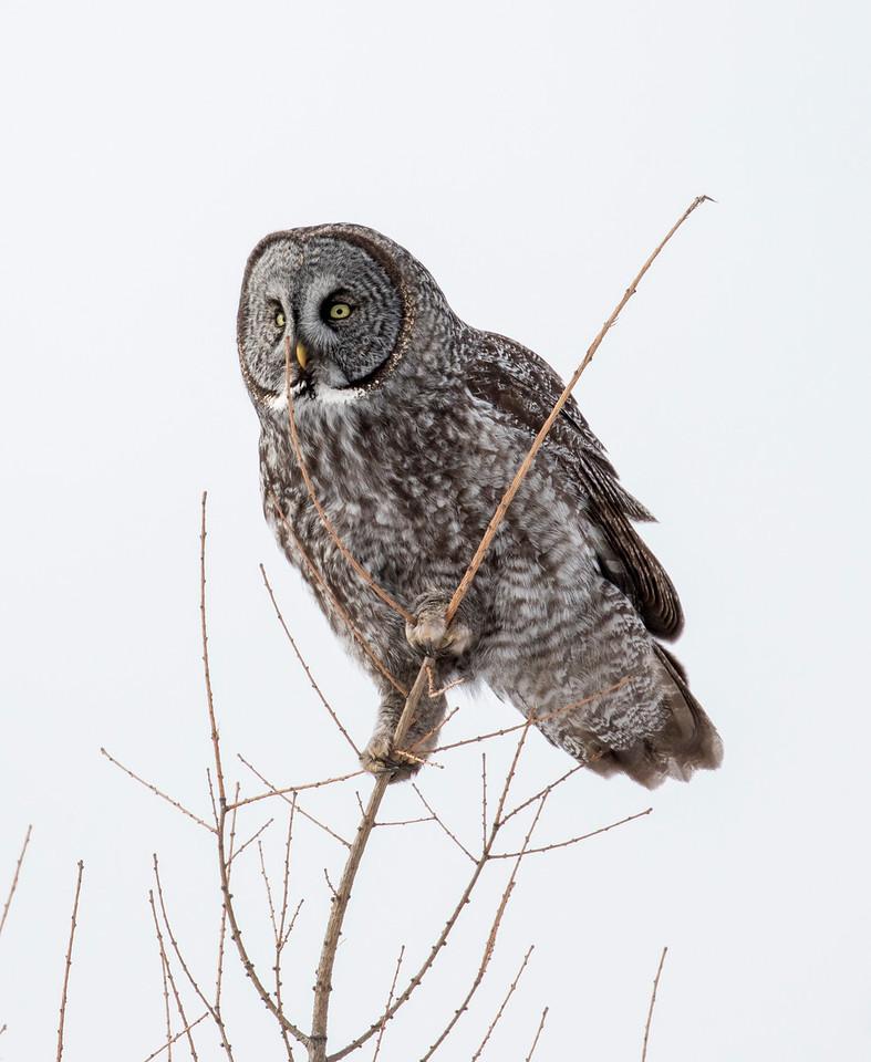 Great Gray Owl 50 (1-29-2018)