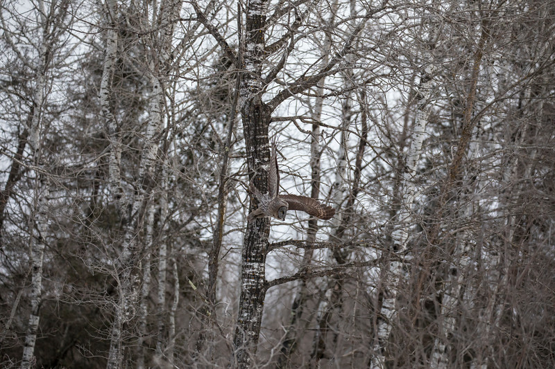 Great Gray Owl 17 (1-29-2018)