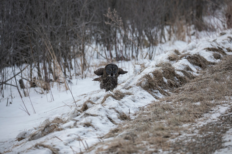 Great Gray Owl 12 (1-29-2018)
