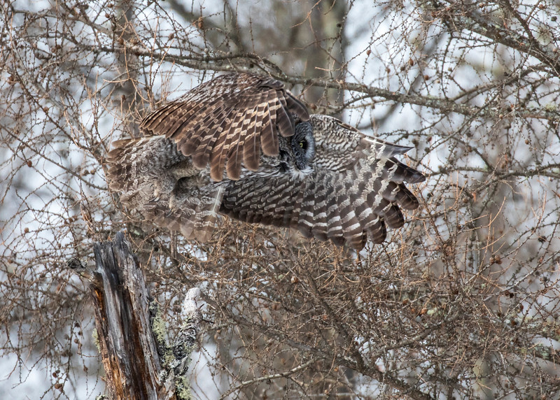 Great Gray Owl 28b (1-29-2018)