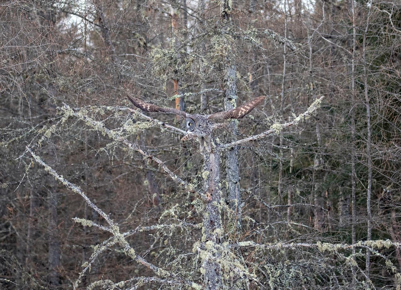 Great Gray Owl 62 (1-29-2018)