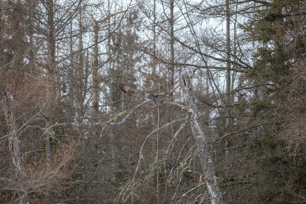 Great Gray Owl 45 (1-29-2018)