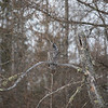 Great Gray Owl 40 (1-29-2018)