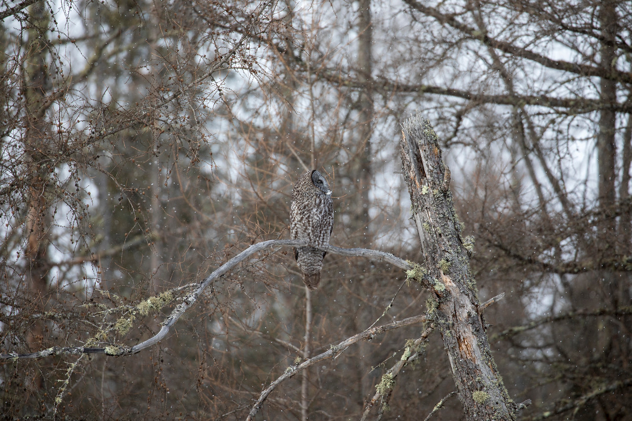 Great Gray Owl 40 (1-29-2018)