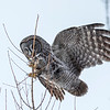 Great Gray Owl 48 (1-29-2018)