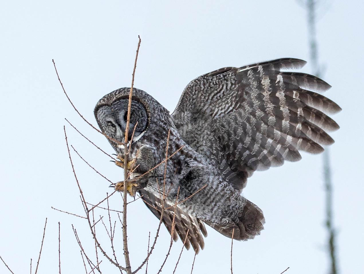 Great Gray Owl 48 (1-29-2018)