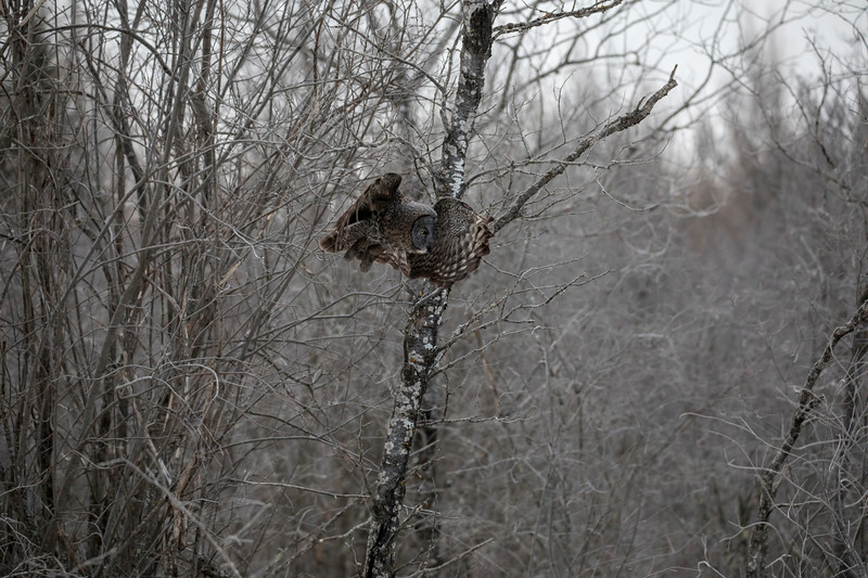 Great Gray Owl 4 (1-29-2018)