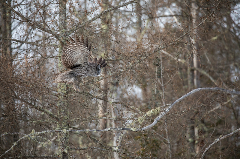 Great Gray Owl 31 (1-29-2018)