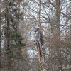 Great Gray Owl 24 (1-29-2018)