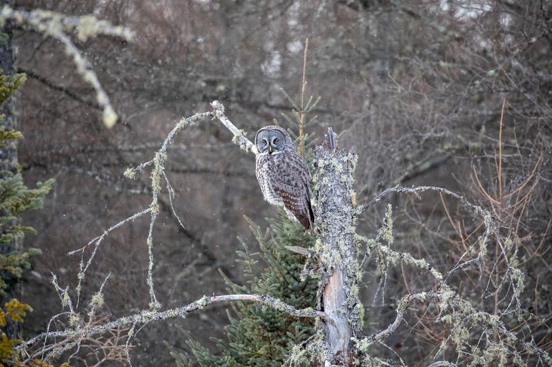 Great Gray Owl 67 (1-29-2018)