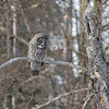 Great Gray Owl 35 (1-29-2018)