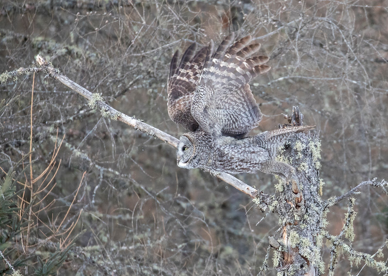 Great Gray Owl 71 (1-29-2018)