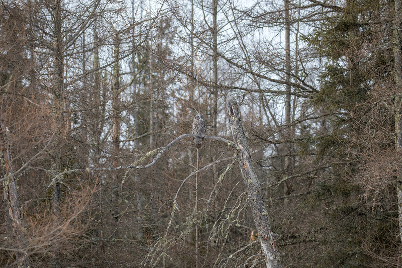 Great Gray Owl 39 (1-29-2018)