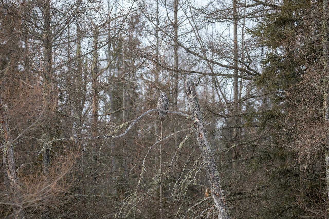 Great Gray Owl 39 (1-29-2018)