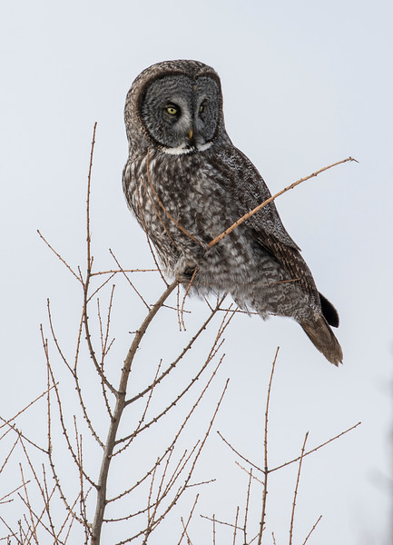 Great Gray Owl 51 (1-29-2018)