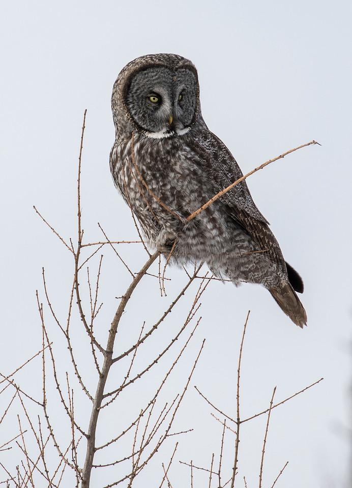 Great Gray Owl 51 (1-29-2018)