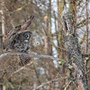 Great Gray Owl 32 (1-29-2018)