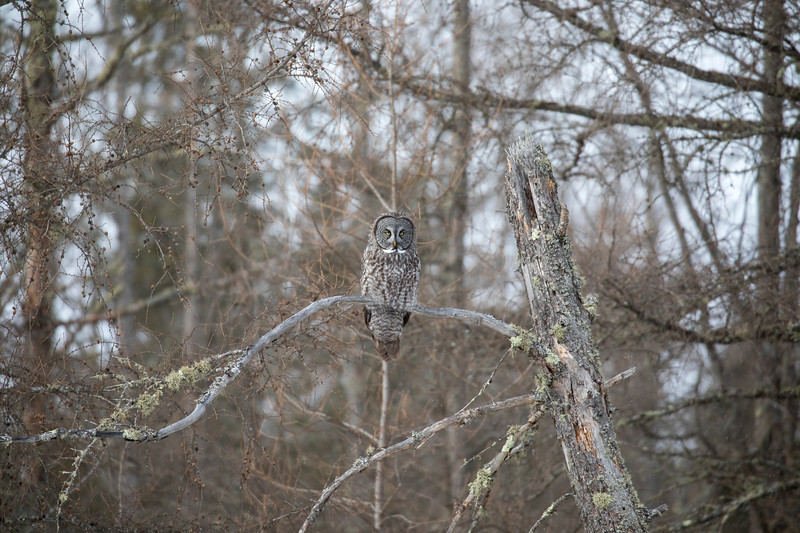 Great Gray Owl 37 (1-29-2018)