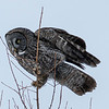 Great Gray Owl 49 (1-29-2018)