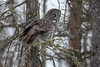 Great Gray Owl 71 (12-20-2017)