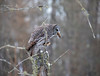 Great Gray Owl 37 (12-20-2017)